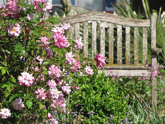 old blush rose - Garden Ideas North Carolina